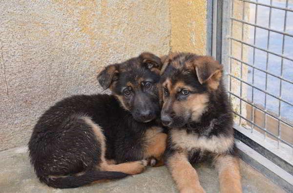 cachorros cruce pastor