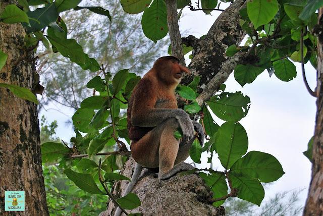 Mono Proboscis en el Parque Nacional de Bako, Borneo (Malasia)