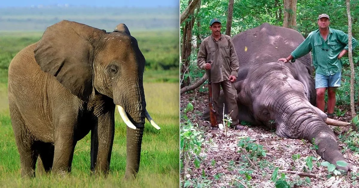 Elephant Kills Big Game Hunter By Falling On top Of Him After Being Shot