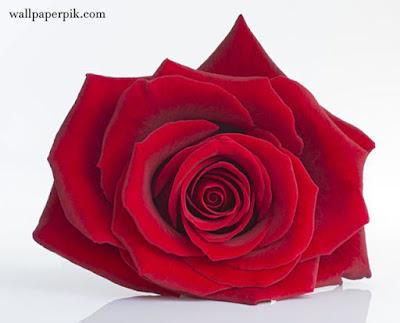 rose top  wallpaper roses wallpaper