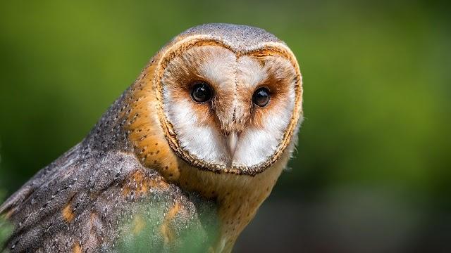 OWL IN HINDI/उल्लू के बारे में