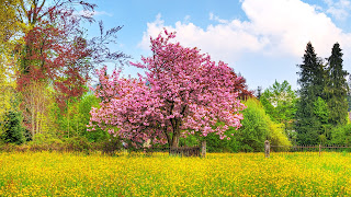 Cherry tree nature high defination images
