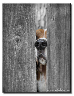 Basset Hound nose sticking through fence