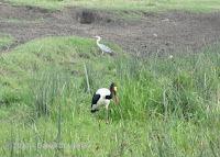 Grey heron, Saddle-billed stork, Tanzania