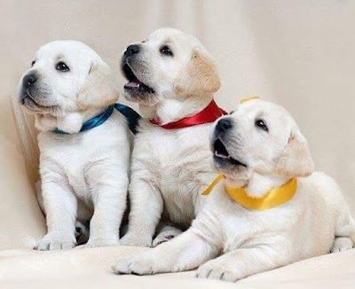 Dog Puppies hd wallpaper