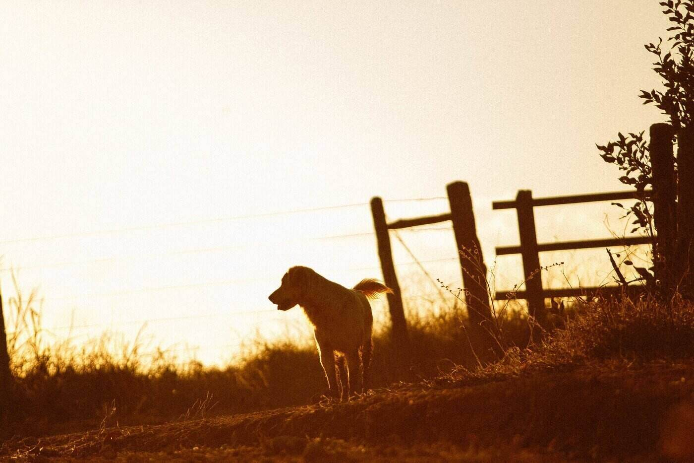 dog by fence at sundown - how to protect your farm dog from other animals