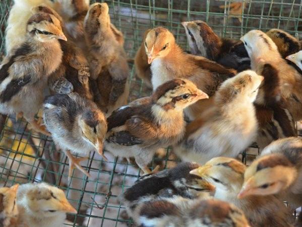 Cách khắc phục gà 2 tuần tuổi phân dính đít và không ỉa được.