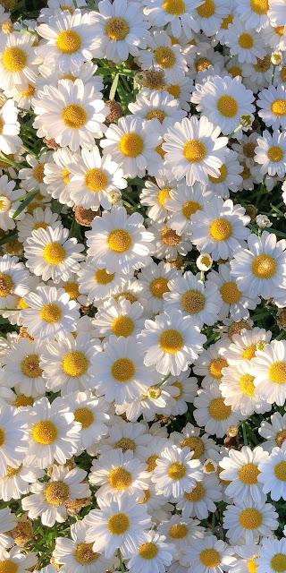 Những cánh hoa cúc họa mi trắng tuyệt đẹp