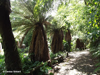 Golden tree ferns - Pukekura Park, New Plymouth, New Zealand