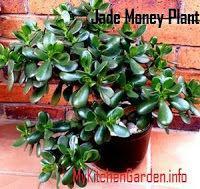 Jade Money Plant