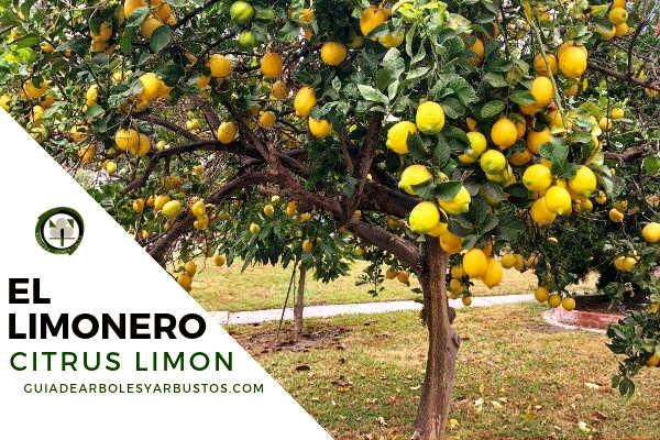 El limonero, Citrus limon es un árbol de hojas grandes con espinas de la familia coriáceas