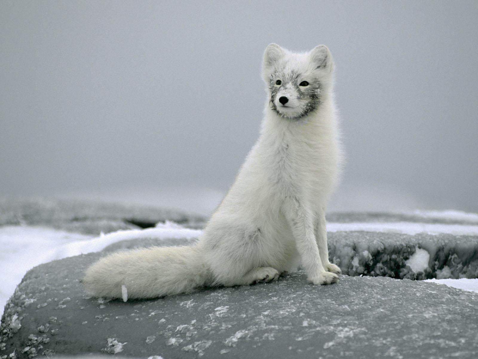 Wallpaper: Arctic Fox Wallpapers
