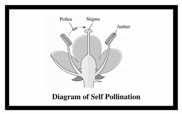 Diagram of Self Pollination