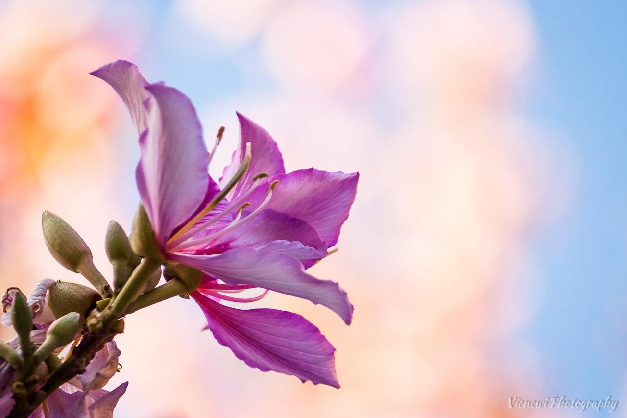 Kwitnący na różowo kwiat drzewa orchidowego sfotografowany na tle nieba i innych kwiatów.