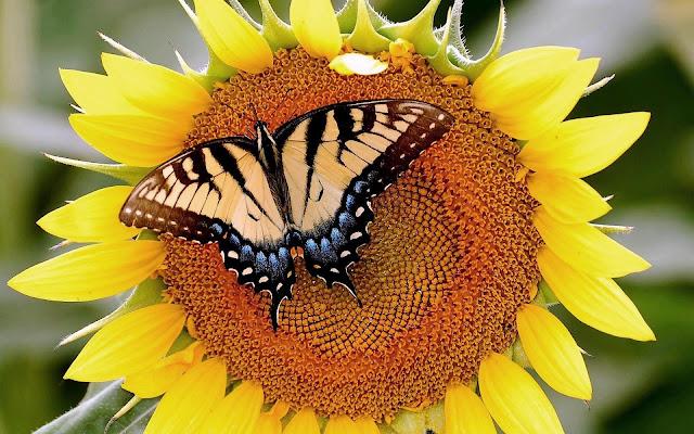 Close up foto met een vlinder op een zonnebloem