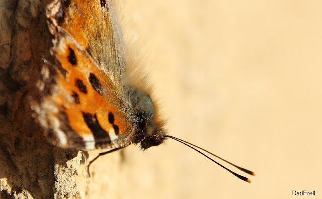 Grande tortue, papillon