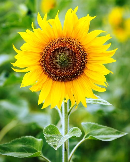 20 gambar bunga matahari atau sunflower paling indah