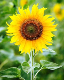 Gambar Bunga Matahari Paling Indah 20002_Sunflower