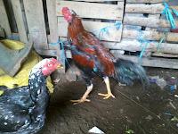Cara Ternak Ayam Bangkok Sukses