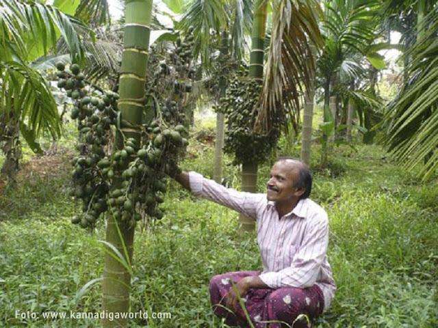 Pinang Mangala, Sumangala, Subamangala, Mohitnagar, Srimangala, Samruthi (Andaman), Hirehalli dwarf, VTLAH 1, 2 and Thirthahalli dwarf adalah varietas komersial utama yang dibudidayakan di India.