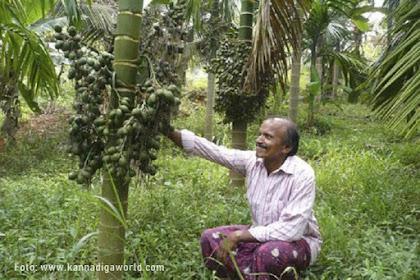 9 Jenis Pinang Varietas Unggul India