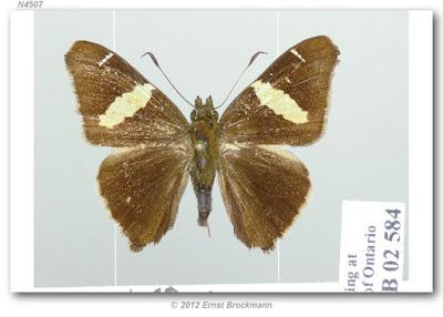 Mariposa saltarina franja amarilla (Oechydrus chersis)
