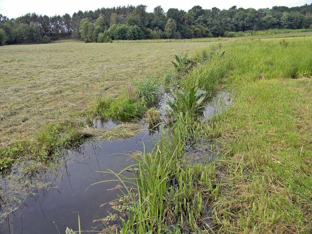 rośliny terenów podmokłych, podmokłe łąki