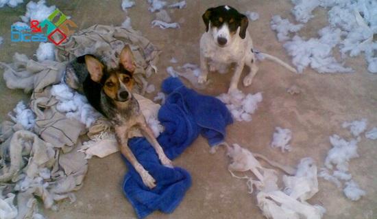 Cães destroem cobertor