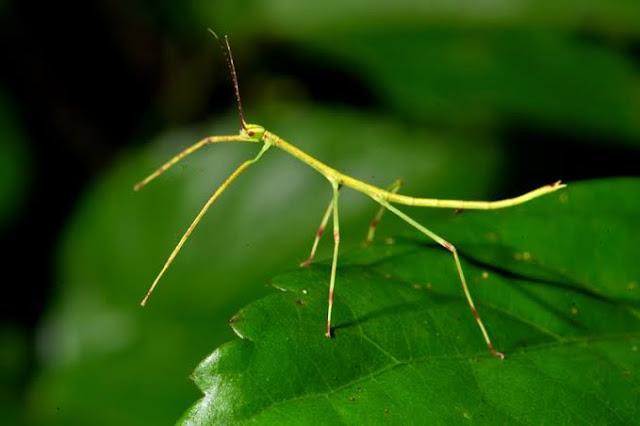 حشرة العود
