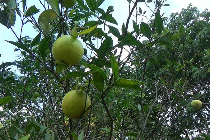 Dlium Mandarin orange (Citrus reticulata)