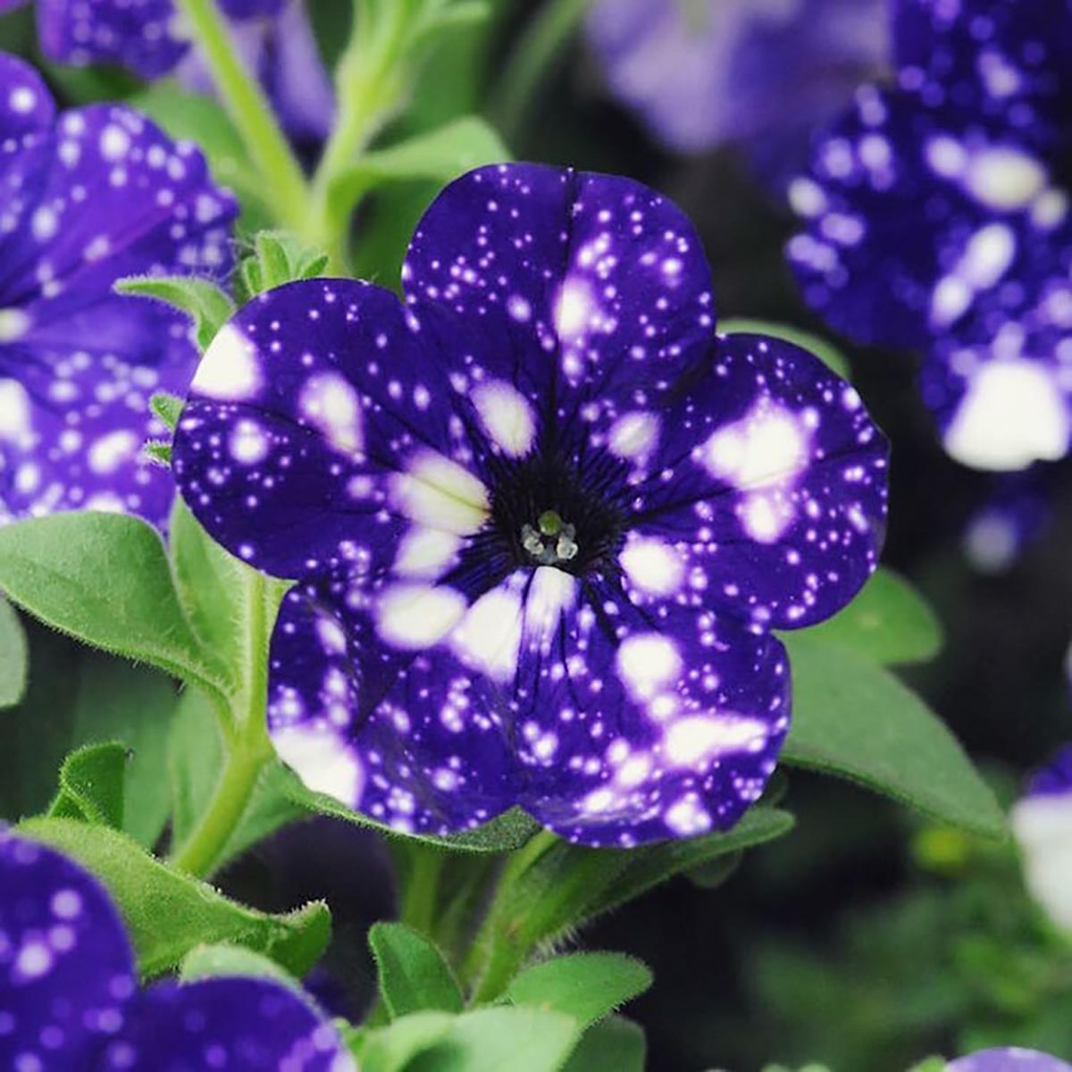 Galaxy, Flower
