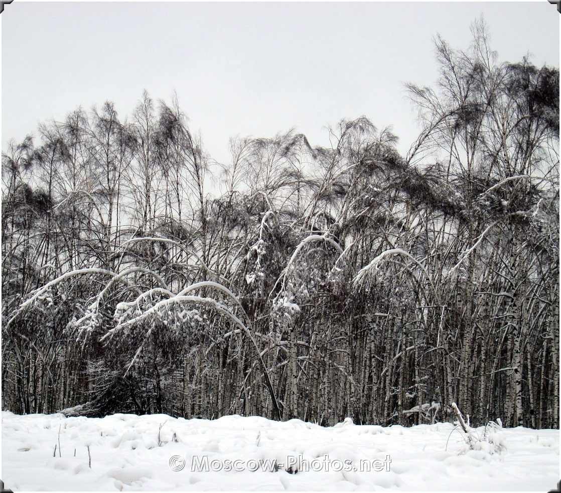 Moscow Winter Birch Forest