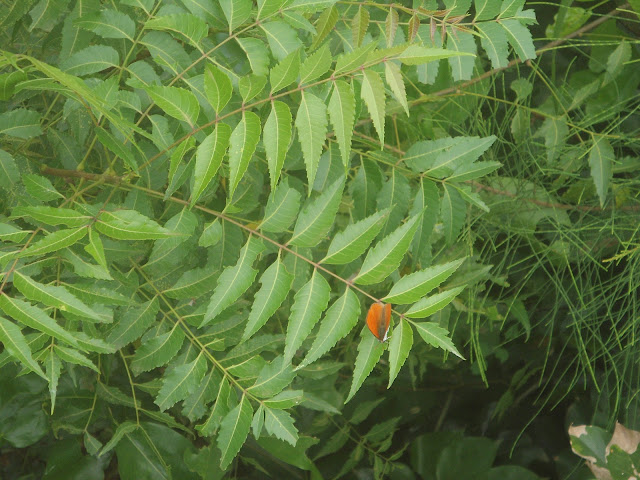 Advantages and disadvantages of neem