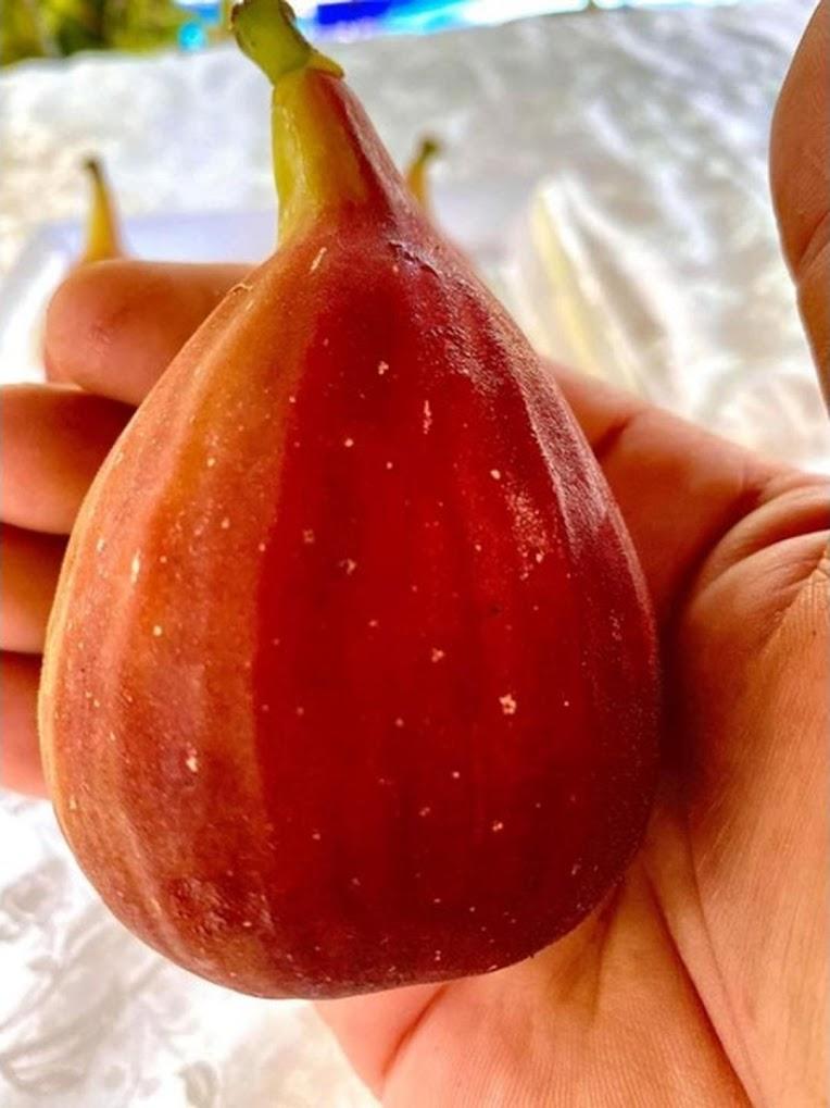 Bibit buah tin Super Red Hybrid fresh cangkok bibit buah tin Jambi