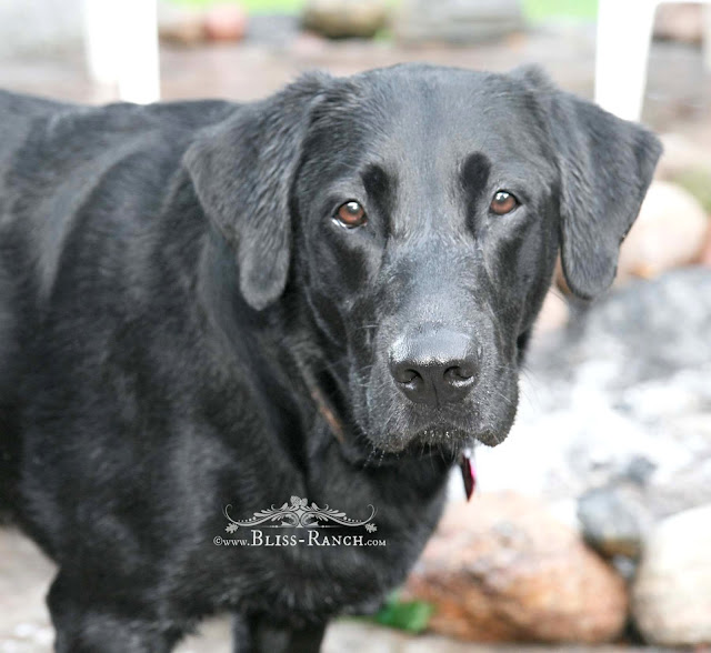 Black Lab Bliss-Ranch.com