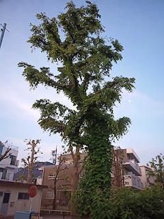 蛇崩川緑道の木