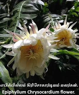 Epiphyllum Chrysocardium flower