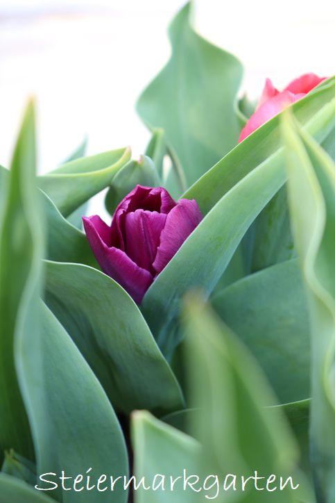 Tulpen-Steiermarkgarten