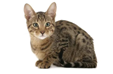 Serengeti cat - all you want to know about Serengeti cats