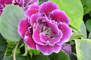cara merawat bunga gloxinia atau bunga bludru