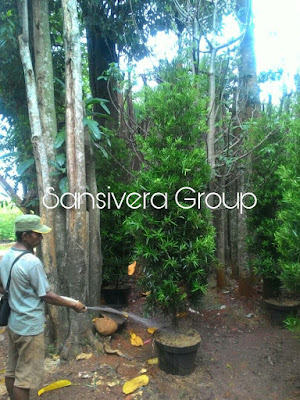 Tanaman Bonsai Lohansung