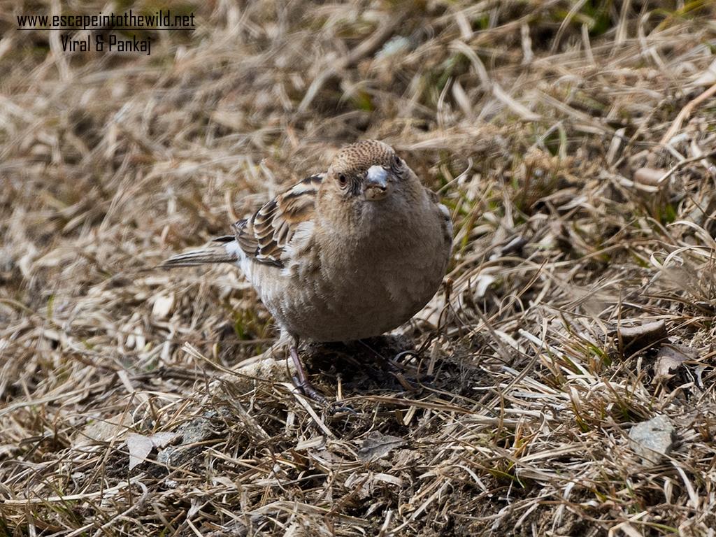 Plain Mountain-Finch