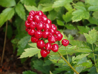 baneberries