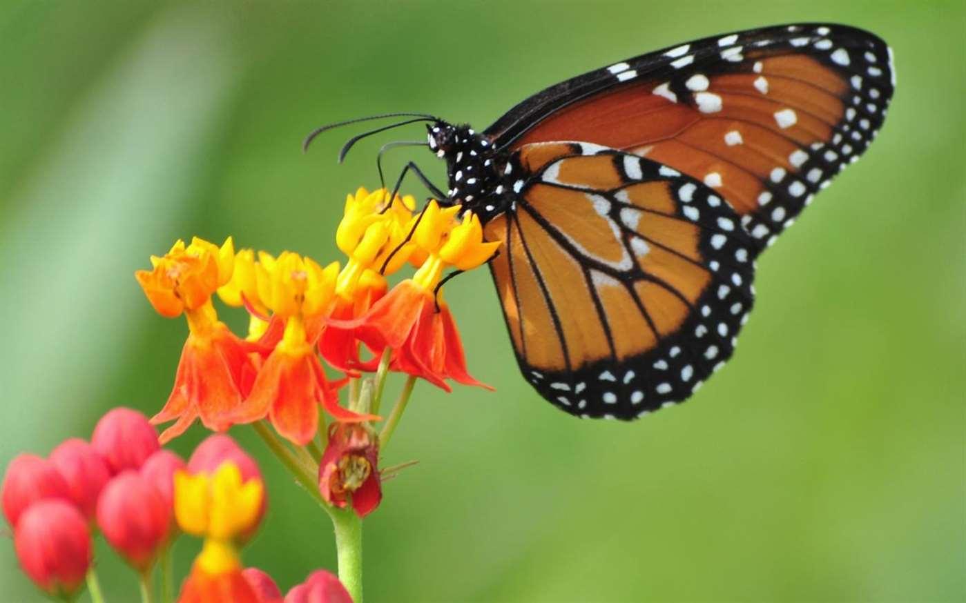 Tema-farfalle