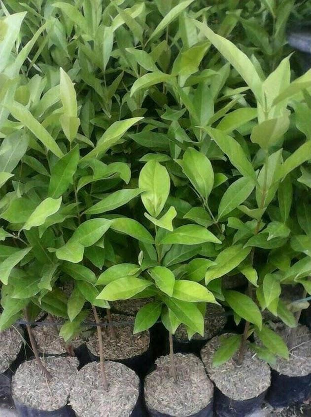 bibit daun salam banyak manfaat Lampung