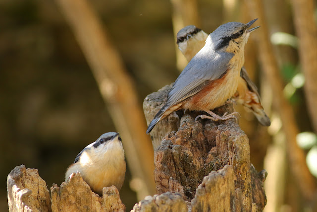 Nuthatch family