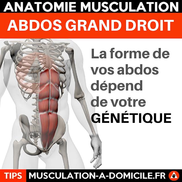 musculation à domicile anatomie des muscles abdominaux grand droit
