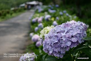 園路沿いのアジサイ写真