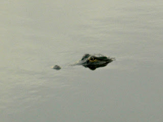 An Alligator Swimming at the Anhinga Trail