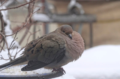 "This picture is the fifth image of Mourning dove sitting atop of snow (the other three showing this are atop the entry). Many snowflakes have landed on his back. This bird type is featured in my three volume book series, ""Words In Our Beak."" Info re the books can be found in another post on this blog @ https://www.thelastleafgardener.com/2018/10/one-sheet-book-series-info.html"